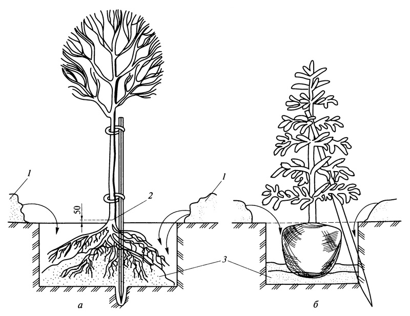 Схема посадки древесных