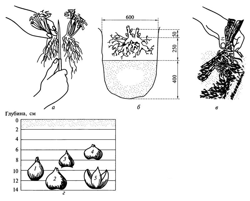 Схемы размножения и посадки