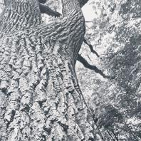 600-летний дуб-долгожитель в садах Коломенского